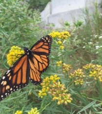 Beautiful wing-spread Monarch butterfly perched on yellow flower amidst other yellow flowers and greenery
