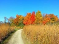 Gravel path running vertically from bottom of picture through tall brown grasses up to colorful fall trees in background