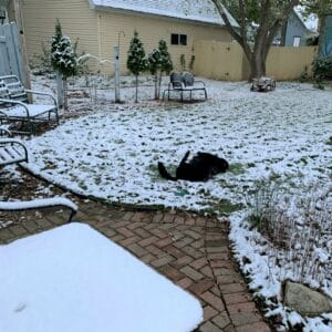 Black dog rolling in the snow of a backyard area