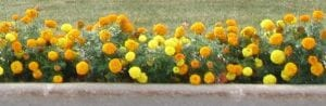 orange and yellow marigolds beautify a street curb with plush green grass in the background
